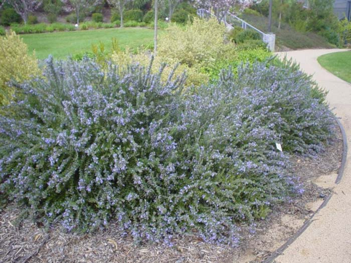 Plant photo of: Rosmarinus officinalis 'Prostratus'