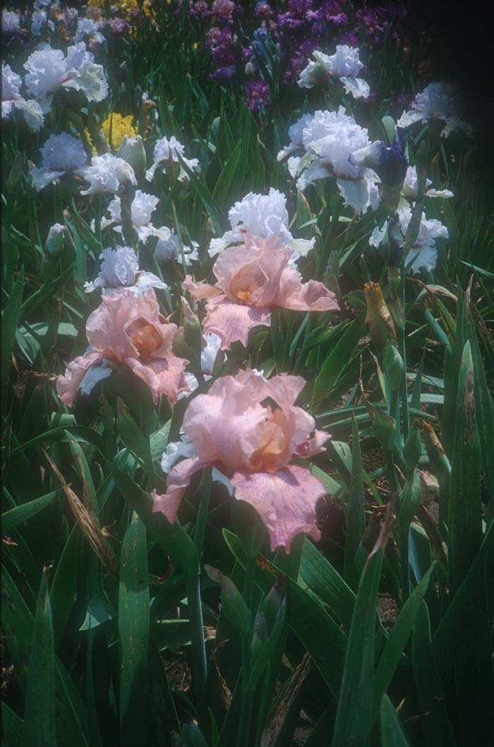Plant photo of: Iris Bearded 'Beverly Sills'