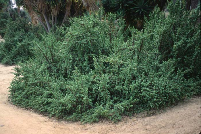 Plant photo of: Portulacaria afra