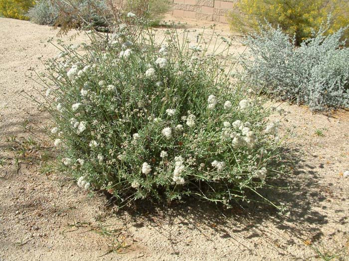 Plant photo of: Eriogonum fasciculatum polifolium