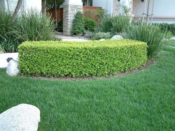 Plant photo of: Buxus sempervirens