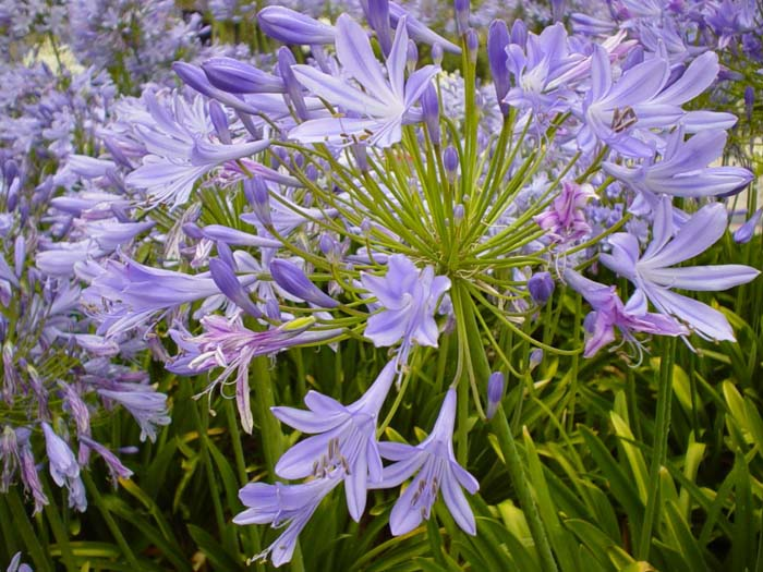 Plant photo of: Agapanthus praecox ssp. orientalis