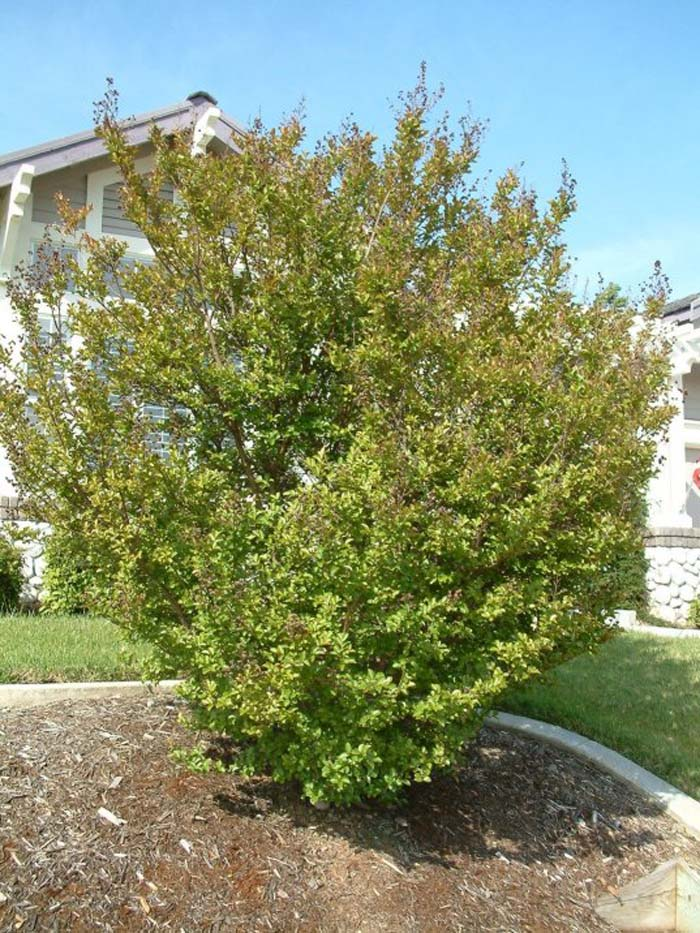 Plant photo of: Lagerstroemia indica
