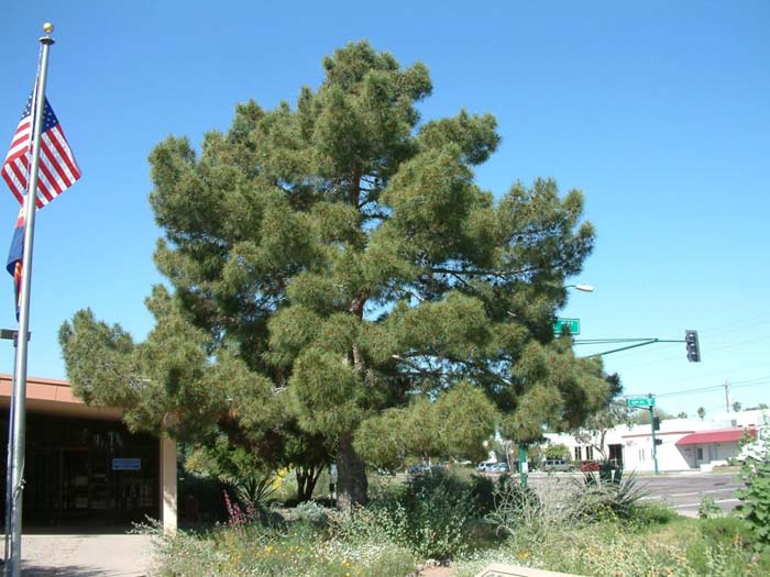 Plant photo of: Pinus halepensis