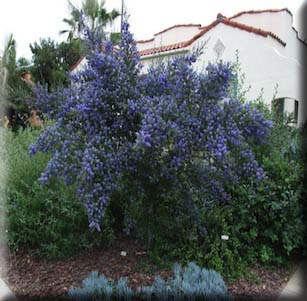Blue Native's Garden