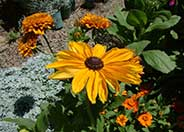 Rudbeckia hirta 'Indian Summer'