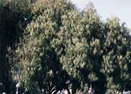 Australian Willow, Wilga
