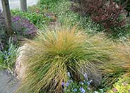 Pheasant's Tail Grass
