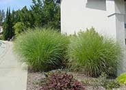 Eulalia or Japanese Silver Grass